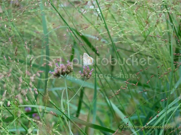 A small butterfly on verbena bonariens, on the panicum 'Warrior' forest.