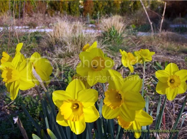 Narcissus Gold Flake