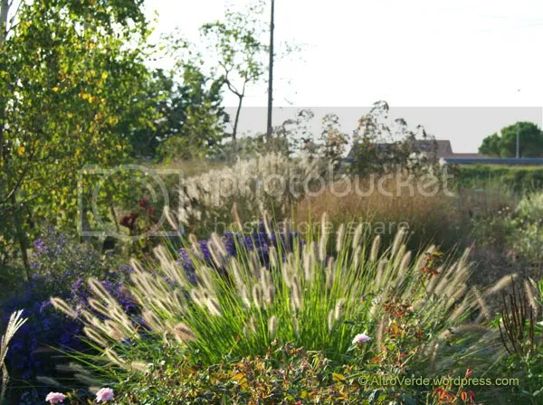 Pennisetum 'Hameln' with aster 'Blau Danube' in the Grass Garden