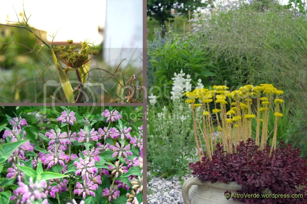 Clockwise from top left: bronze fennel, a pot with mixed sedums in the gravel garden and again phlomis taurica