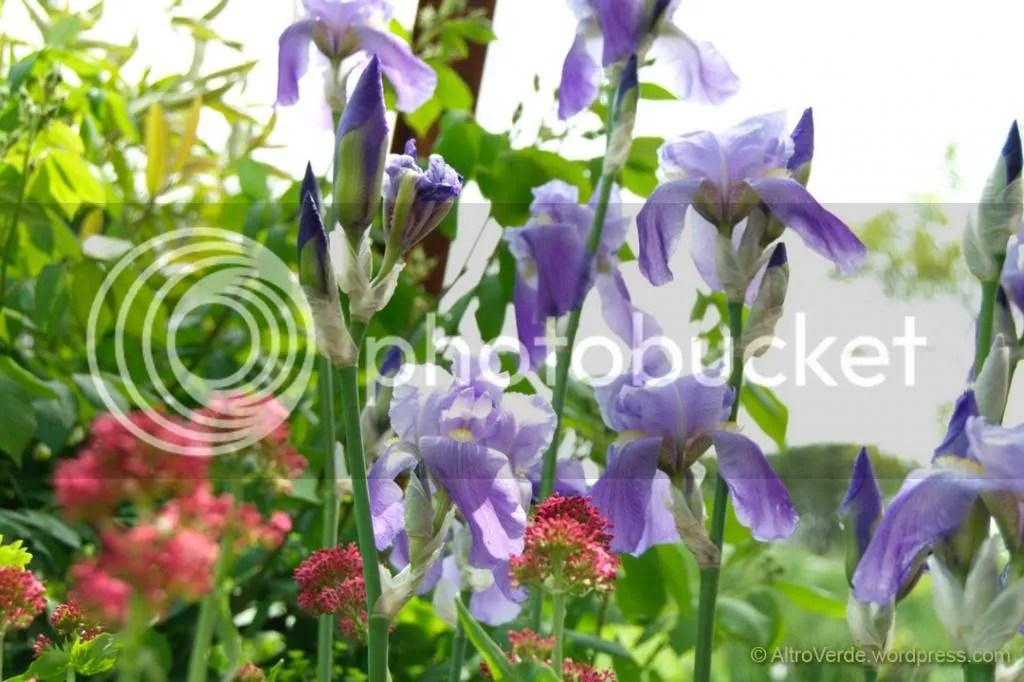 iris pallida and centranthus ruber