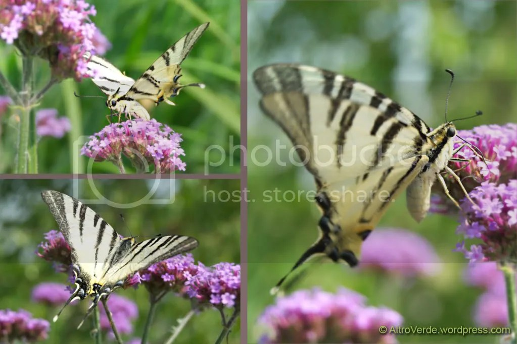 Swallowtail on verbena bonariensis