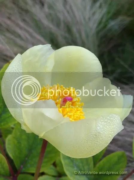 Paeonia mlokosewitschii