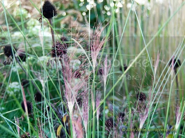 Muhlenbergia capilaris almost coming into bloom, very sparkly!