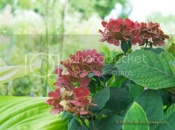 Hydrangea serrata 'Preziosa' next to hosta 'Sum and Substance'