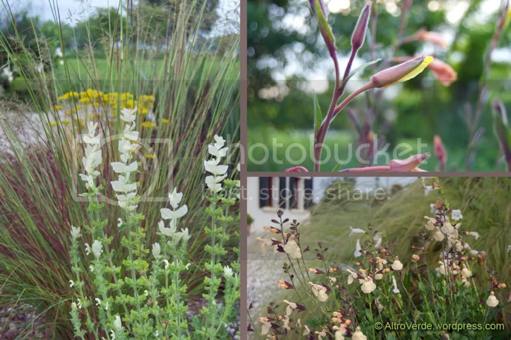 Clockwise from left: white annual salvia of 'Marble Arch' series with eragrostis 'Totnes Burgundy' in the gravel garden - Oenothera about to bloom - Salvia x jamensis 'Navajo' with penstemon 'White bedder' and stipa tenuissima