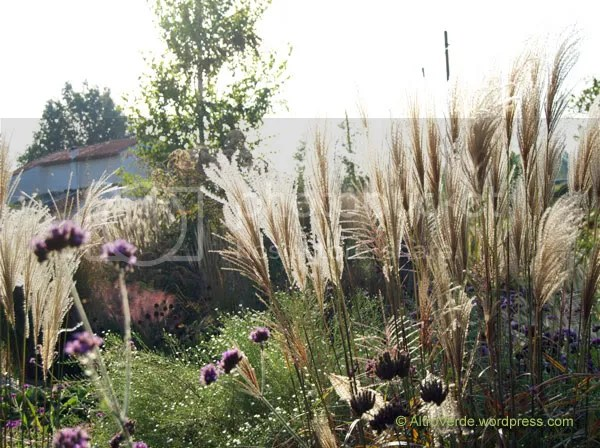 Miscanthus purpurascens glistening in the morning sun with verbena bonariensis and aster 'Monte Cassino'