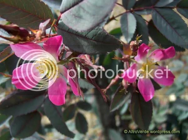 Rosa glauca or r. rubrifolia has beautiful dark green/greyish foliage and sets big red hips in fall