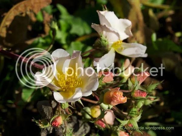 Rosa Rosalita