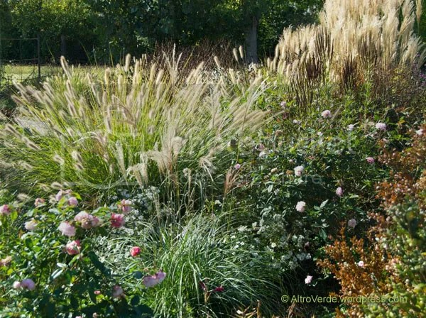 The left part of the Grass Garden is at its best this month. Roses are in full bloom, like it was May here are chinensis Odorata in the foreground and Cécile Brunner on the right, Miscanthus 'Gnome' in the middle with aster and pennisetum 'Hameln'