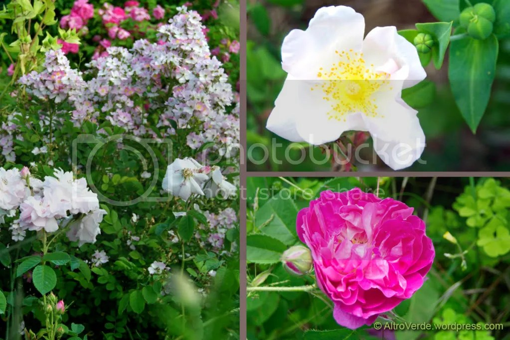Clockwise: rosa Celsiana with rosa chinensis Angel Wings, rosa Sancta, rosa gallica Lord Scarman