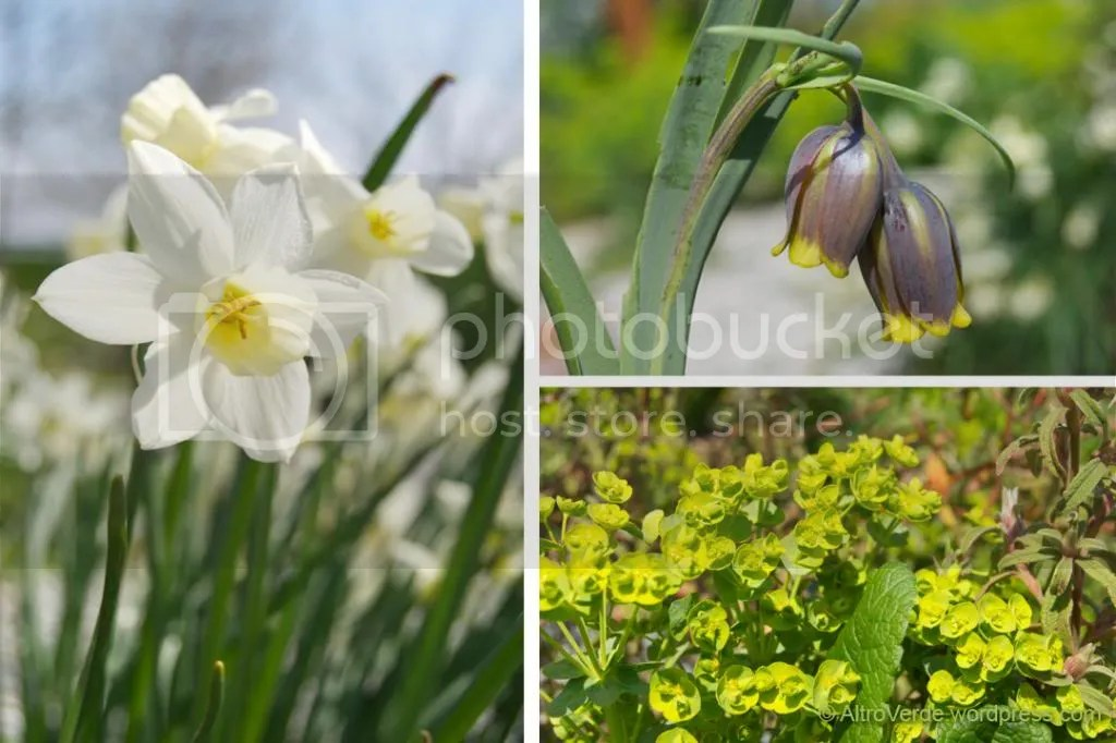 Narcissus Sailboat, fritillaria uva vulpis and the only euphorbia that survives in my garden