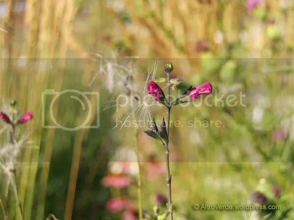 Next to the thistle a fucsia salvia greggii is capturing its fluffy seeds with its sticky flowers that look rather indignant by the way they keep the mouth closed