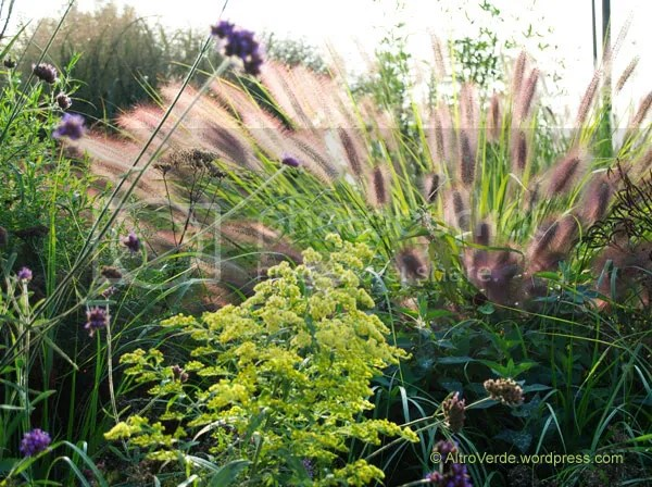 Same pennisetum but viewed from behind. A yellow solidago takes the stage but I prefer the curly dried flower heads of verbena hastata on the right