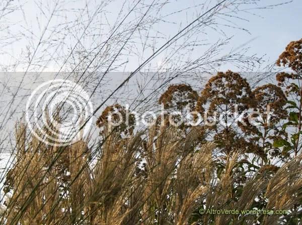 Molinia 'Transparent' sets a watermark on miscanthus sinensis 'Ferne Osten' and the seed heads of eupatorium atropurpureum