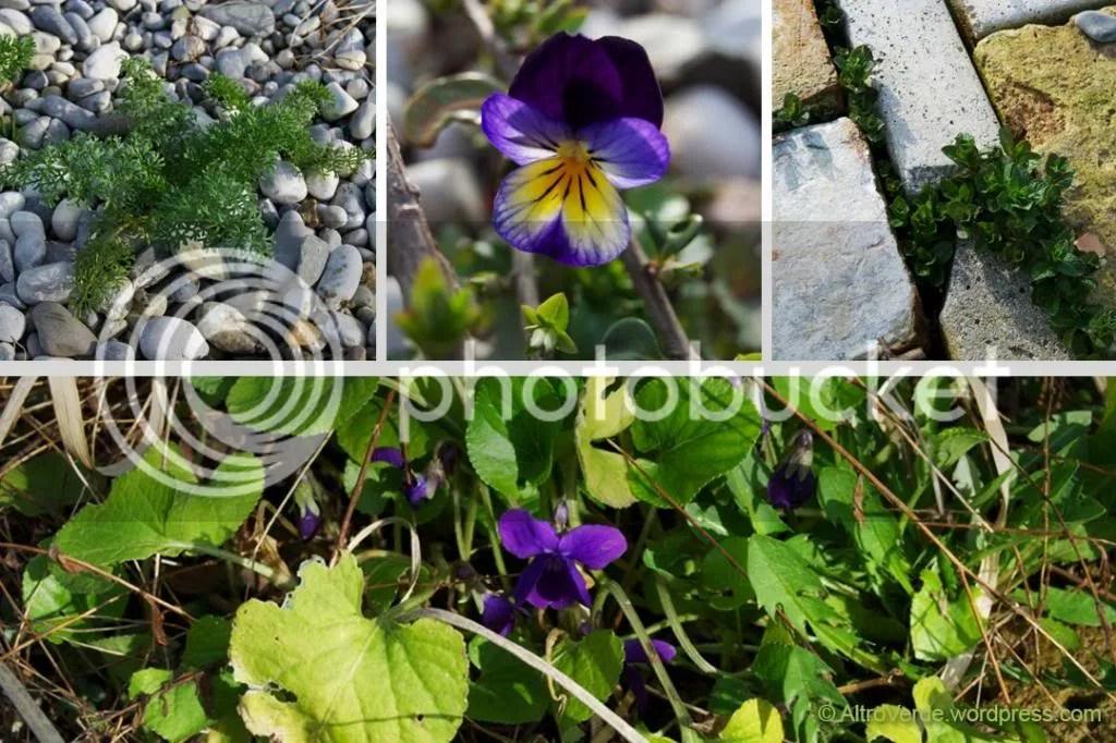 amni visnaga seedling, pansie, mint and viola odorata