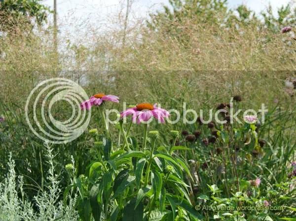 Panicum virgatum 'Warrior' planted last spring