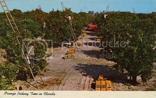 Picking Oranges Postcard