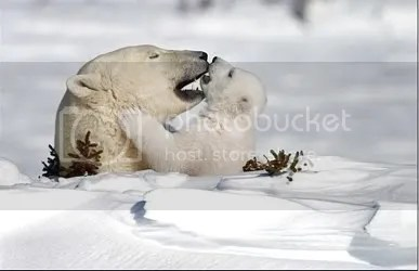 Polar Bear Love Mommy and Baby Pictures, Images and Photos