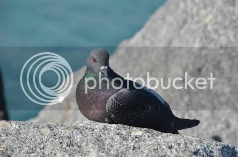 Pigeon Sunbathing Hour
