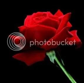 A-Single-Red-Rose.jpg Mawar merah mekar picture by y0g4bp