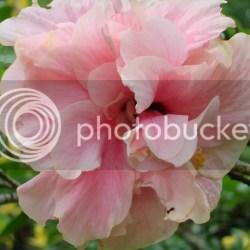 Pink Layered Hibiscus