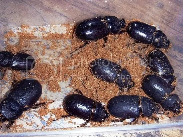 Philippine Beetles Reptile Forums