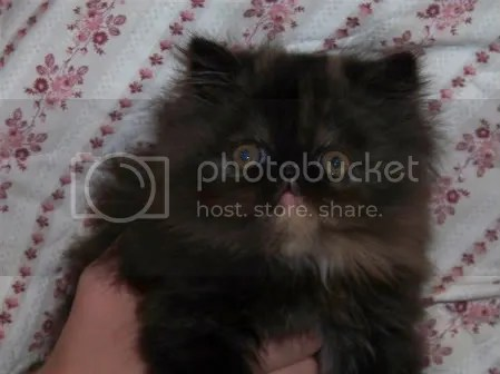 Tortie female Persian, 8 weeks old!
