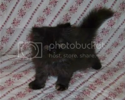 Smaller, darker tortie female, 8 weeks old!