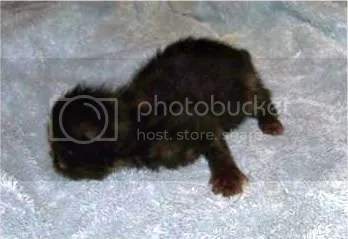 Rosemary, the darker tortoiseshell female Persian.  You can see her diagonal stripe on her back leg.