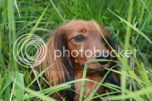Mira i gresset