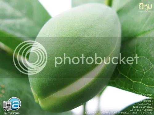 ยี่หุบ Magnolia coco