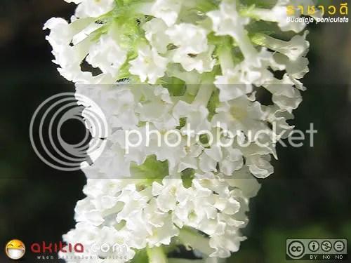 ราชาวดี, Buddleja paniculata, ต้นไม้, ดอกไม้