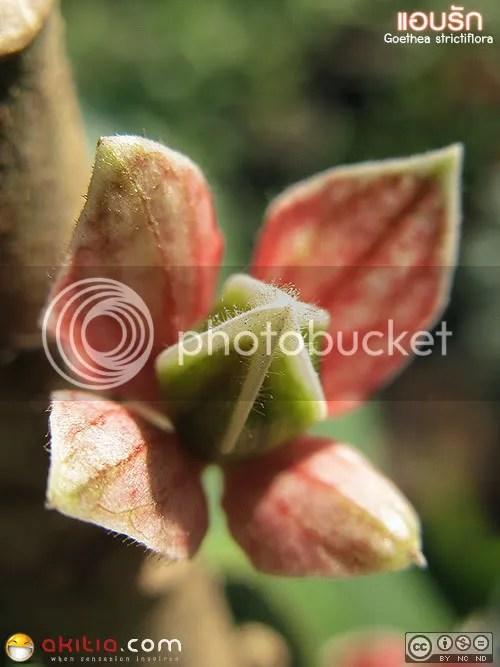 แอบรัก, ต้นแอบรัก, Goethea strictiflora, ต้นไม้, ดอกไม้, ความรัก