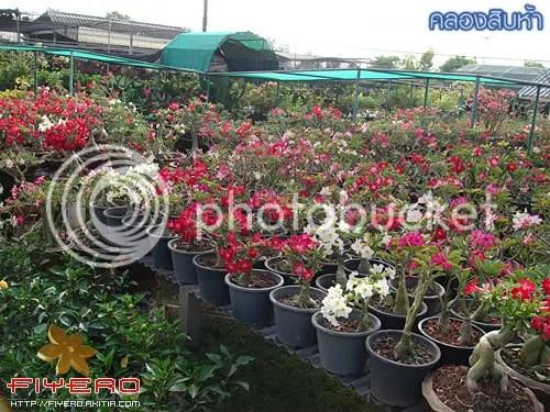 คลองสิบห้า, ตลาดต้นไม้, ไม้ดอก, ไม้ประดับ, ต้นไม้, ดอกไม้, นครนายก, คลอง 15