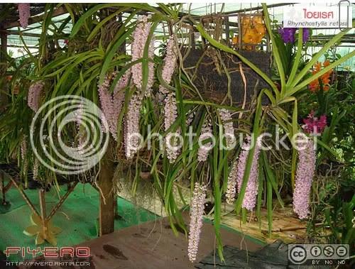 ไอยเรศ, เอื้องไอยเรศ, เอื้องหางกระรอก, กล้วยไม้ป่า, กล้วยไม้สกุลช้าง, ไม้ดอกหอม, Rhynchostylis retusa, ต้นไม้, ดอกไม้