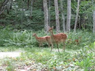 deerintheforest.jpg Deer in the forest picture by Heritageofjapan