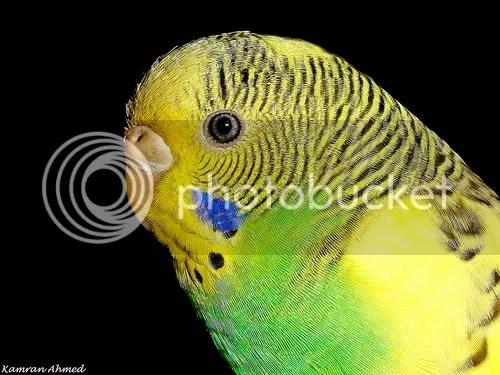 Cần bán chim yến phụng giống sinh sản và tổ cho chim yến đẻ!