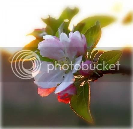 https://i1.wp.com/i27.photobucket.com/albums/c155/Dolphinika/var2/AppleBlossom1.jpg
