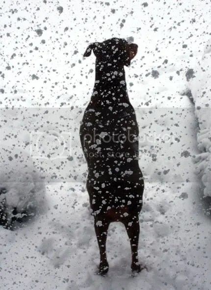 Snow Falling on Dog