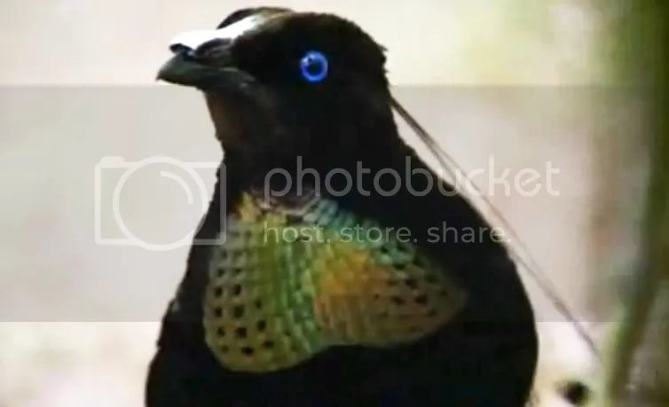 parotia - six plumed bird