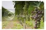 pohon anggur berbuah anggur yang asam
