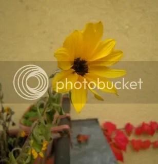 Späte Sonnenblume