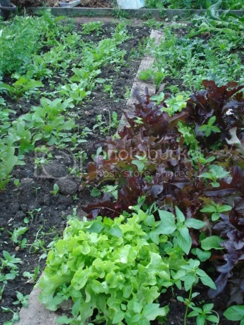 Frilly lettuce and some beets