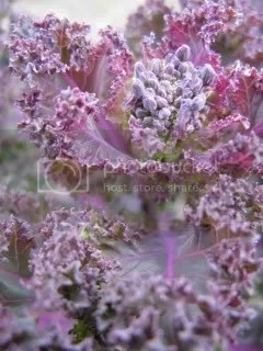 kale red winter