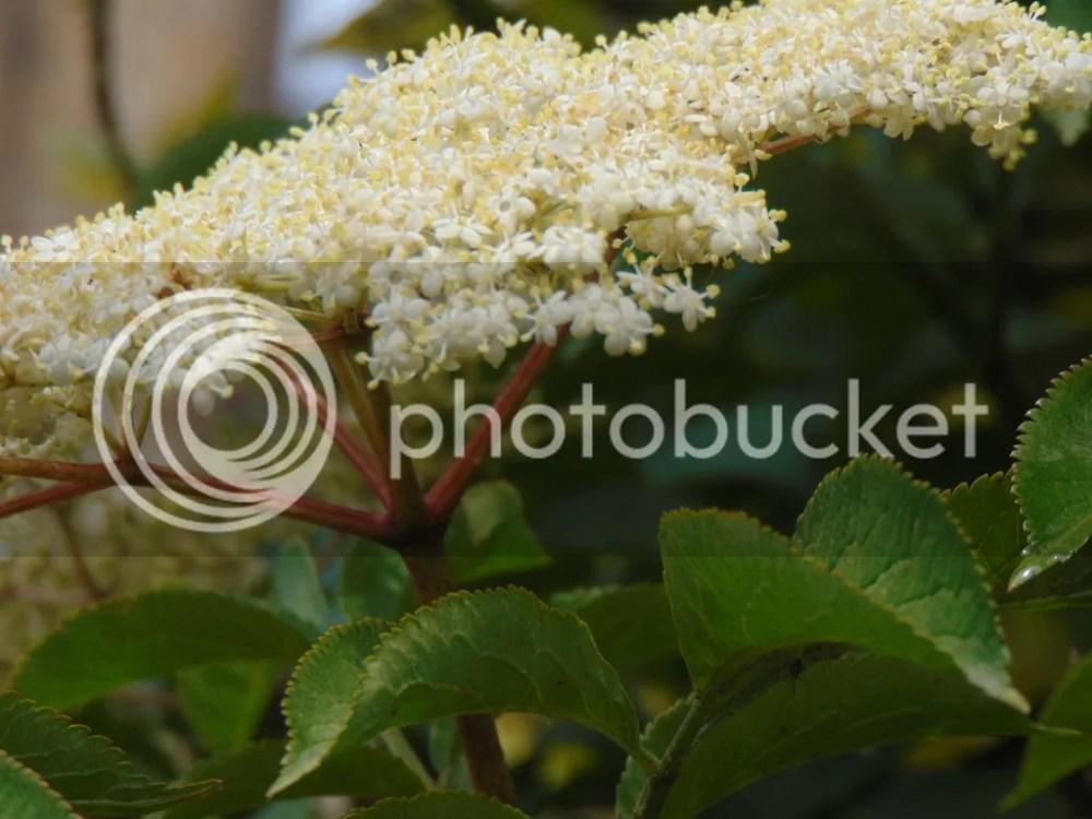Elderflower Cordial - be quick before it is gone. (1/3)