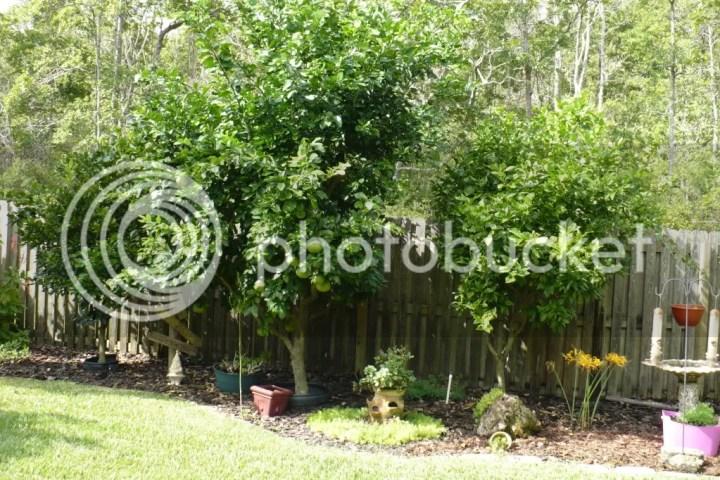 Backyard with three citrus trees