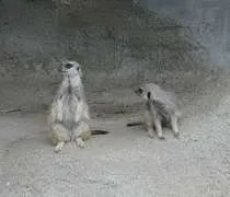 A couple meerkats from the Potter Park Zoo.