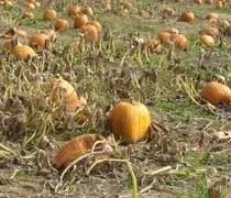The pumpkin patch at Uncle Johns Cider Mill