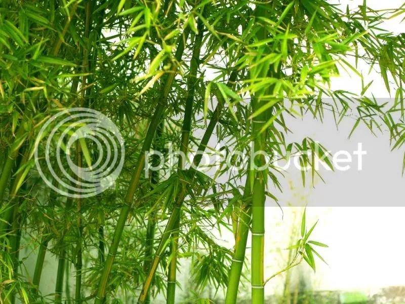 photo bamboo.jpg